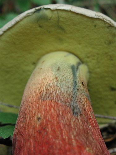 Boletus calopus