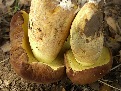 Boletus fragrans