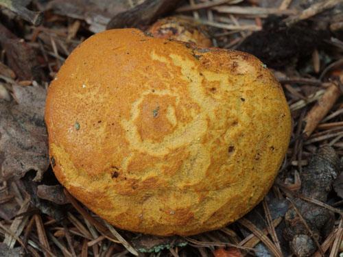Buchwaldoboletus lignicola