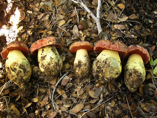 Boletus lupinus