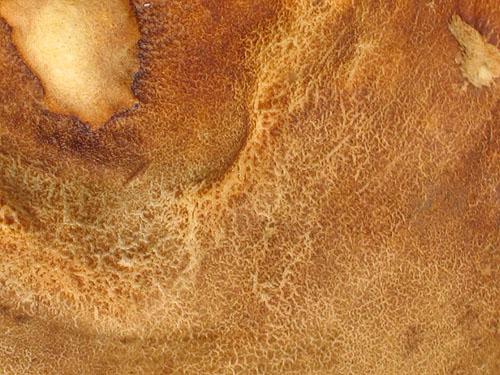 Boletus reticulatus