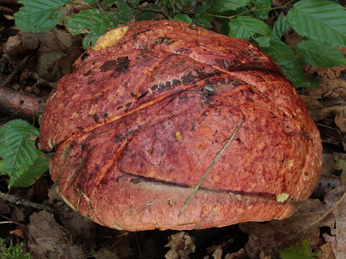 Boletus rhodopurpureus