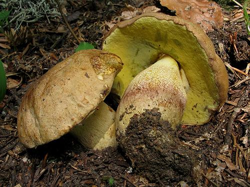 Boletus subappendiculatus