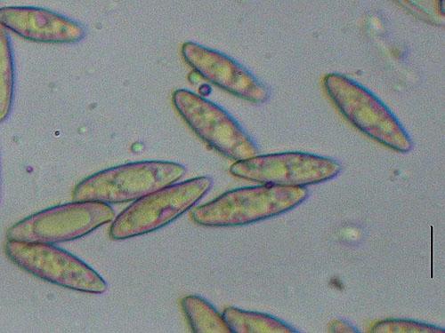 Boletus aereus