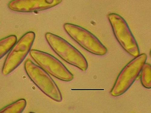 Boletus pinophilus