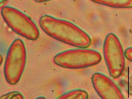 Boletus pseudosulphureus