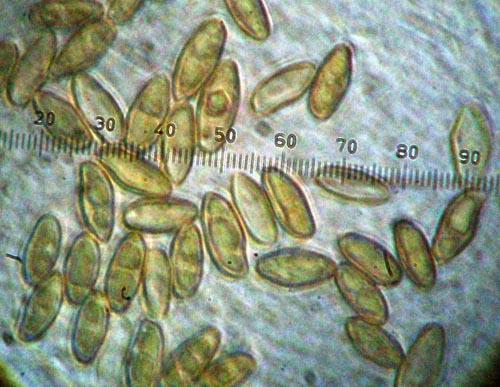 Boletus pulchrotinctus spores