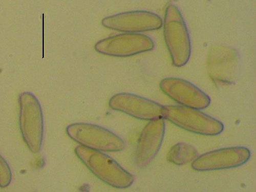 Boletus pulverulentus
