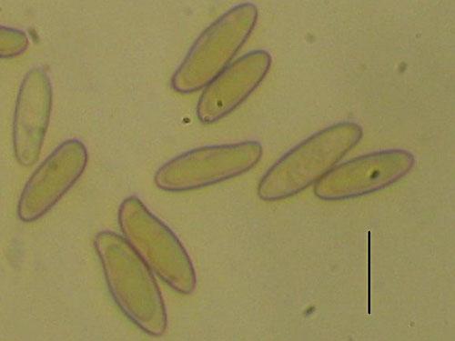 Boletus radicans