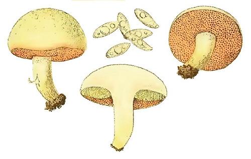 Chalciporus amarellus