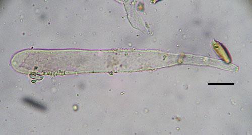 Croogomphus helveticus
