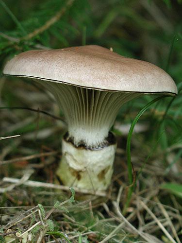 Gomphidius glutinosus