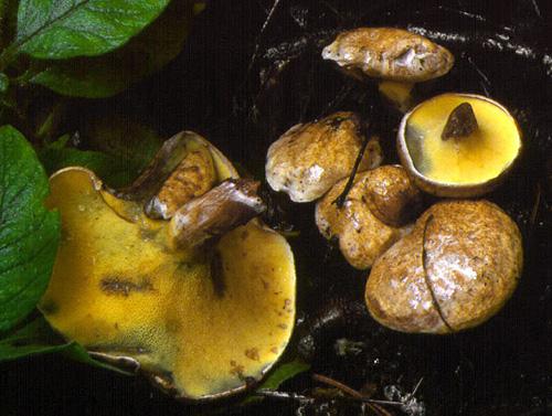 Gyrodon lividus