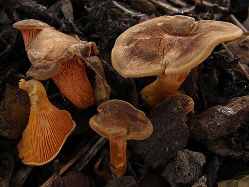 Hygrophoropsis rufa