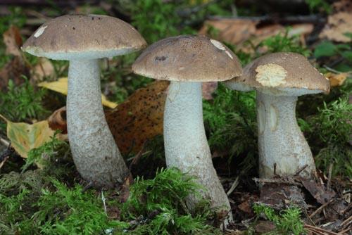 Leccinum cyaneobasileucum