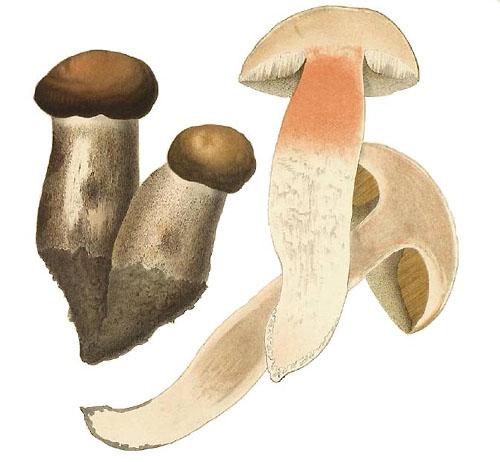 Leccinum duriusculum
