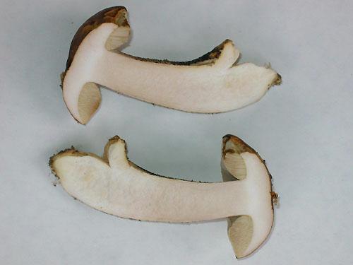 Leccinum scabrum
