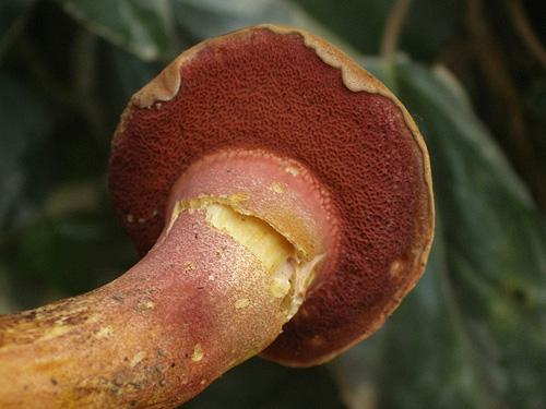 Rubinoboletus rubinus