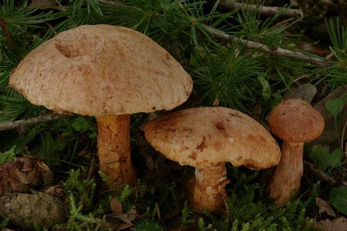 Suillus tridentinus