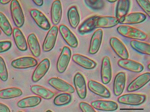 Suillus lakei spores