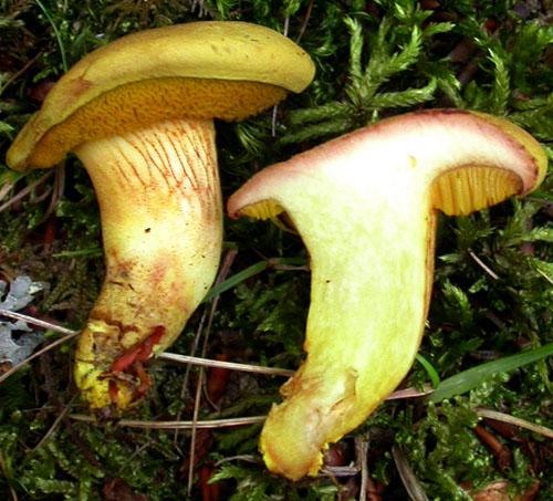 Xerocomus chrysonemus