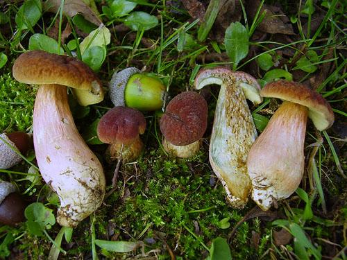 Xerocomus bubalinus