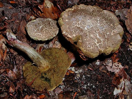 Xerocomus cisalpinus