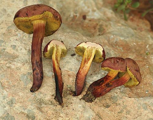 Xerocomus dryophilus