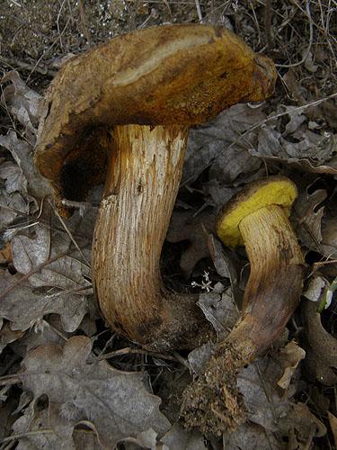 Xerocomus ichnusanus