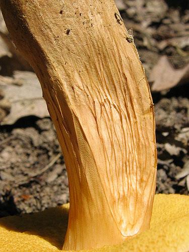 Xerocomus moravicus