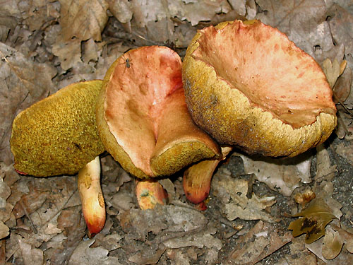 Xerocomus roseoalbidus