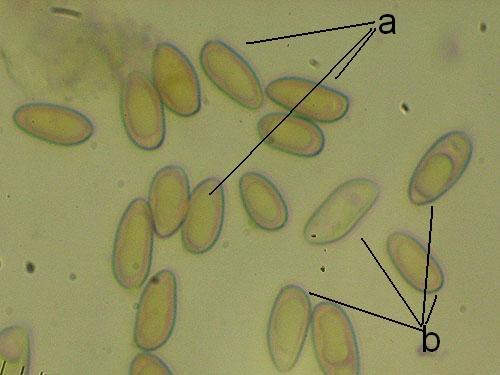 Measuring spores