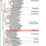 Phylogenetic reconstruction of Boletaceae based on 28S (LSU) rDNA sequences by Maximum Likelihood analysis